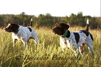 German Shorthair Field Trials